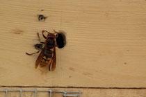 Kaum war das Insektenhotel fertig, zog gleich die Hornisse mit Frau ein