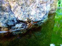 Die Wespe beim Wassertrinken