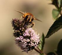Die fleißieg Biene holt sich den Nektar