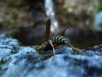 Die Wespe sucht nach Wasser