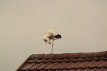 Ein Storch besucht uns im Januar auf dem Dach des Nachbarn