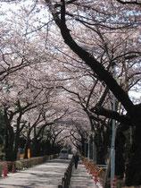 青山霊園の桜並木、満開を過ぎた頃