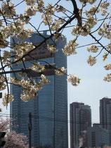 桜越しの六本木ヒルズ