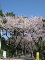 青山霊園中央