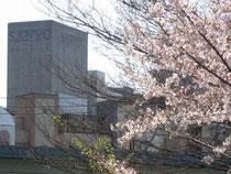 青葉公園の桜越しにうちの屋上が見えます。。。