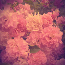 vintage style photo, wild vintage roses, retro style photo