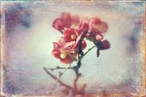 vintage style photo, I dreamed a flower garden, retro style tree cherry flowers photo