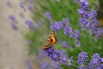 """Schmetterling """"kleiner Fuchs"""" auf Lavendel"""