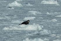 Robbe beim Eqi Gletscher