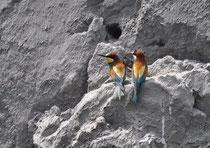 Bienenfresser Merops apiaster (c) Christa Brunner