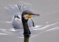 Kormoran Phalacrocorax carbo (c) Christa Brunner