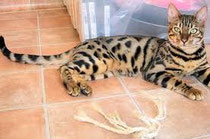 BENGAL SPOTTED TABBY TRES CONTRASTE