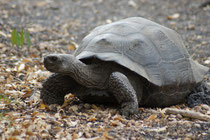 Landschildkröte - Galapagos