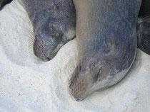 Seelöwen auf Galápagos