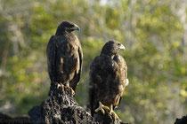 Bussard-Päarchen auf Galápagos