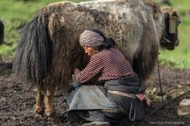 Traite des yacks