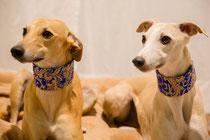 """Scarlet und Cleo mit """"Dubai Dream Blue Gold"""" Zugstopphalsbändern"""