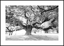 Le vieux chêne, Morrens VD. Einzel-Abzug auf Hahnemühle Photo Rag. Foto-Format 80 x 52 cm. Passepartouriert, gerahmt, hinter UV-Glas. Edition limitiert (1 + 2). Preis: 4500 CHF.