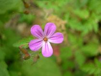erodium cicutarium    fiore