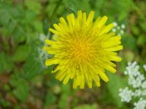 sonchus oleraceus   fiore