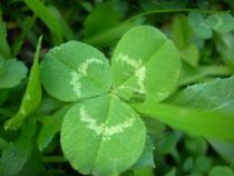 trifolium pratensis      trifoglio