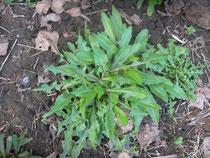 cichorium intybus  e taraxacum officinalis   cicoria e tarassaco