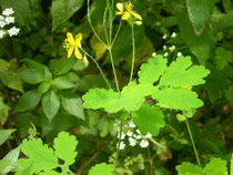 chelydonium mayus    chelidonia