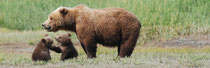 New Arrivals - Katmai National Park, Alaska