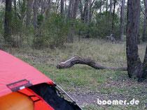 Känguru-Mama mit Kind auf Nachbarschafts-Besuch