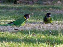 Australian Ringneck Parrot am Walpole Inlet