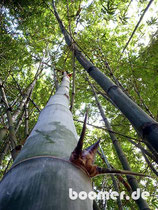 Bambus-Wald im botanischen Garten