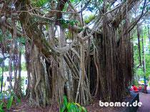 Bäume mit bizarren Wurzeln im Regenwald