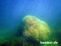 500 Jahre alte Koralle