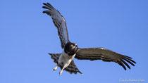 Schwarzbrust-Schlangenadler im Flug