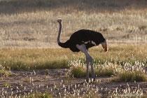 Afrikanischer Strauß (Hahn) im Gegenlicht