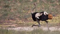 Strauß (Hahn) laufend