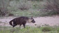 Braune Hyäne auf Streifzug