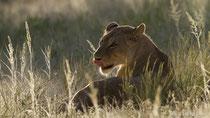 Löwin im Gegenlicht