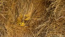 Kapkobra sucht in einem Siedlerwebernest nach Beute