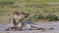 Löwe mit tief im Fleisch sitzendem Stachelschwein-Stachel