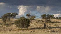 Oryx grasend