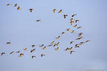 Kranich Trupp fliegend im weichen Abendlicht