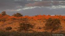 Oryx in den intensiv roten Dünen der Kalahari