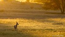 Springbock in der Graslandschaft im ersten Licht des Tages