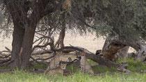 Geparde mit ihrer Beute