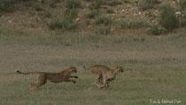 Geparde jagend