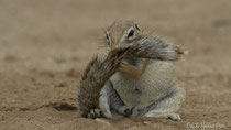 Erdhörnchen putzt sein Fell