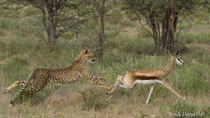 Gepard jagend hinter Springbock