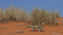 Leopard geht in den roten Dünen der Kalahari