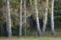 Birken am Waldrand